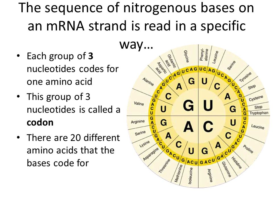 The sequence of nitrogenous bases on an mRNA strand is read in a specific way…