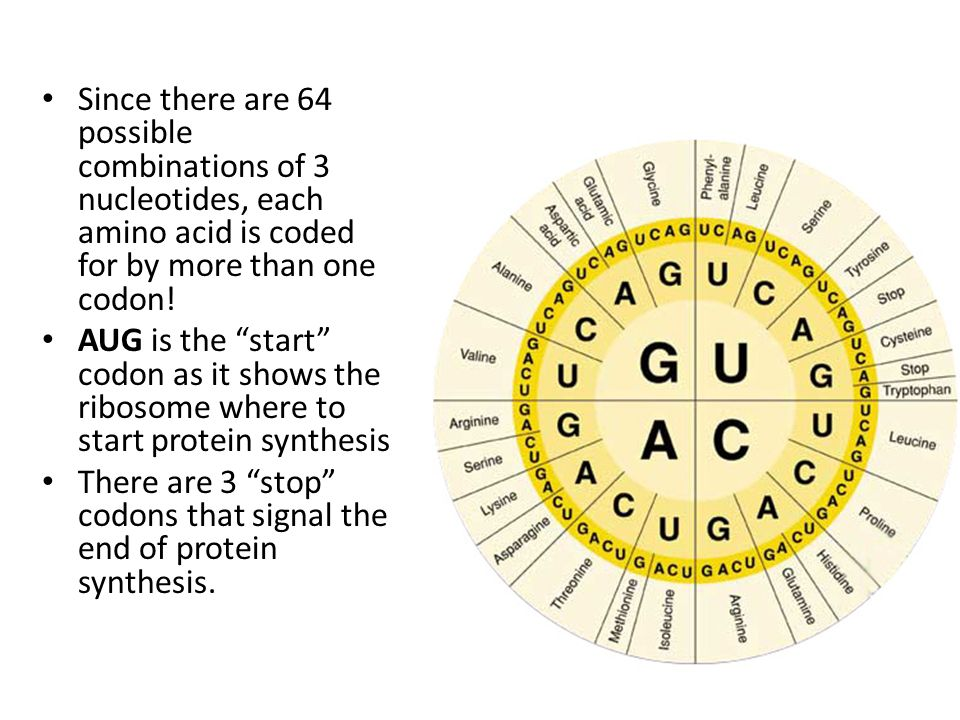 Since there are 64 possible combinations of 3 nucleotides, each amino acid is coded for by more than one codon!