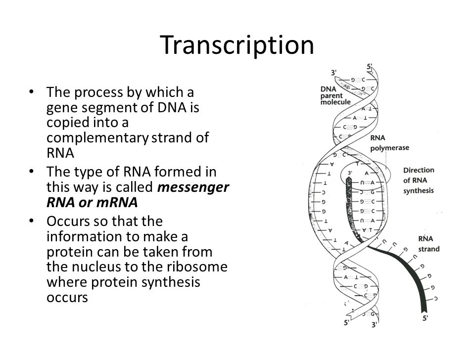 Transcription The process by which a gene segment of DNA is copied into a complementary strand of RNA.