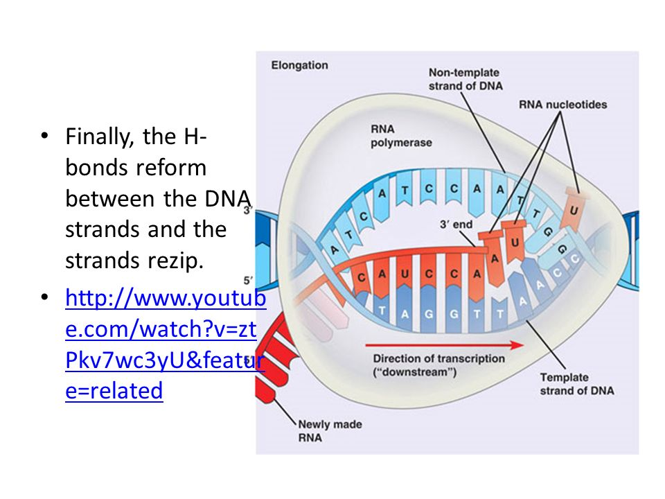 Finally, the H-bonds reform between the DNA strands and the strands rezip.