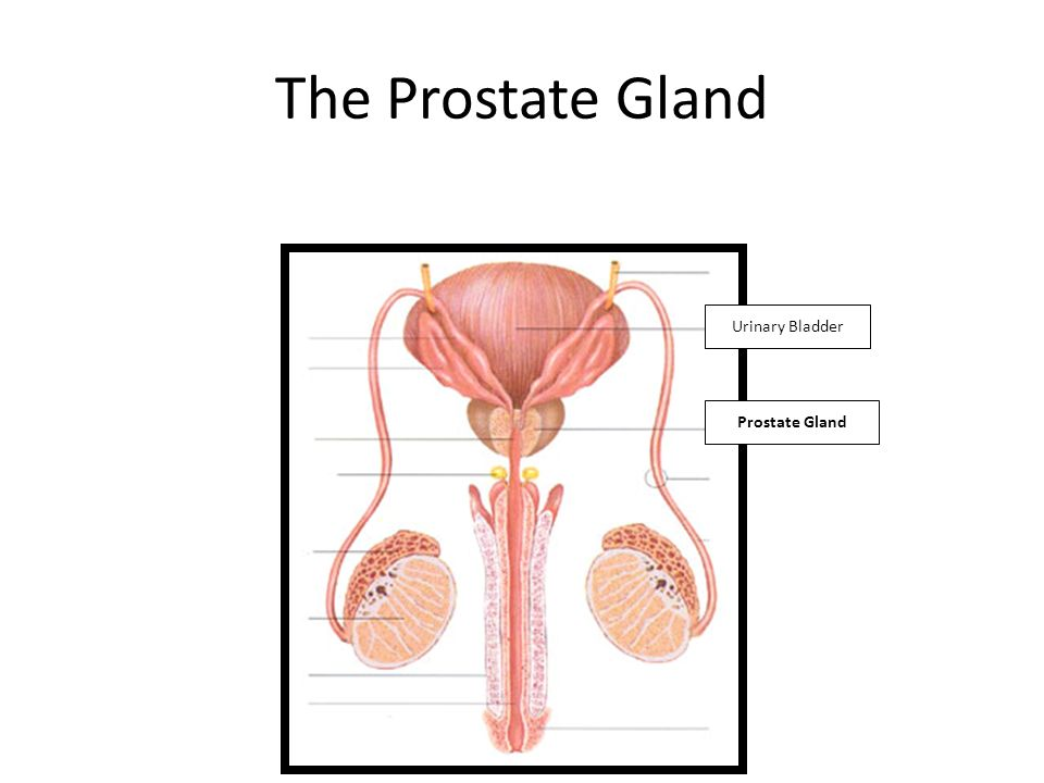 The Prostate Gland Urinary Bladder Prostate Gland