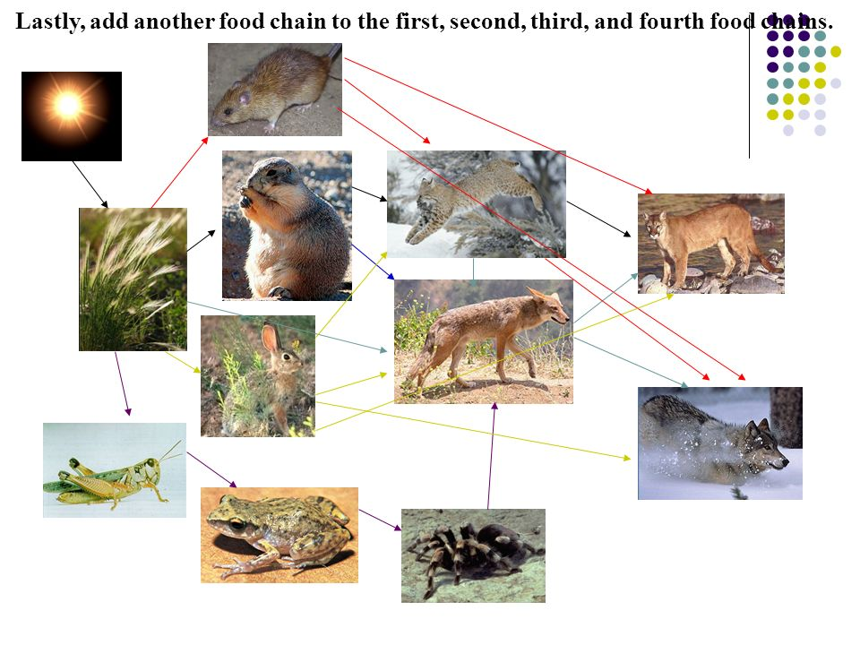Lastly, add another food chain to the first, second, third, and fourth food chains.