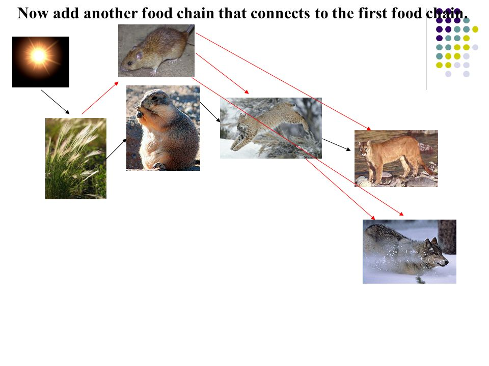 Now add another food chain that connects to the first food chain.