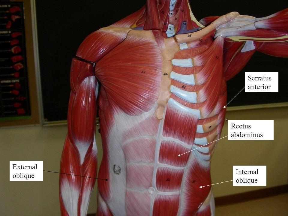 Serratus anterior Rectus abdominus External oblique Internal oblique