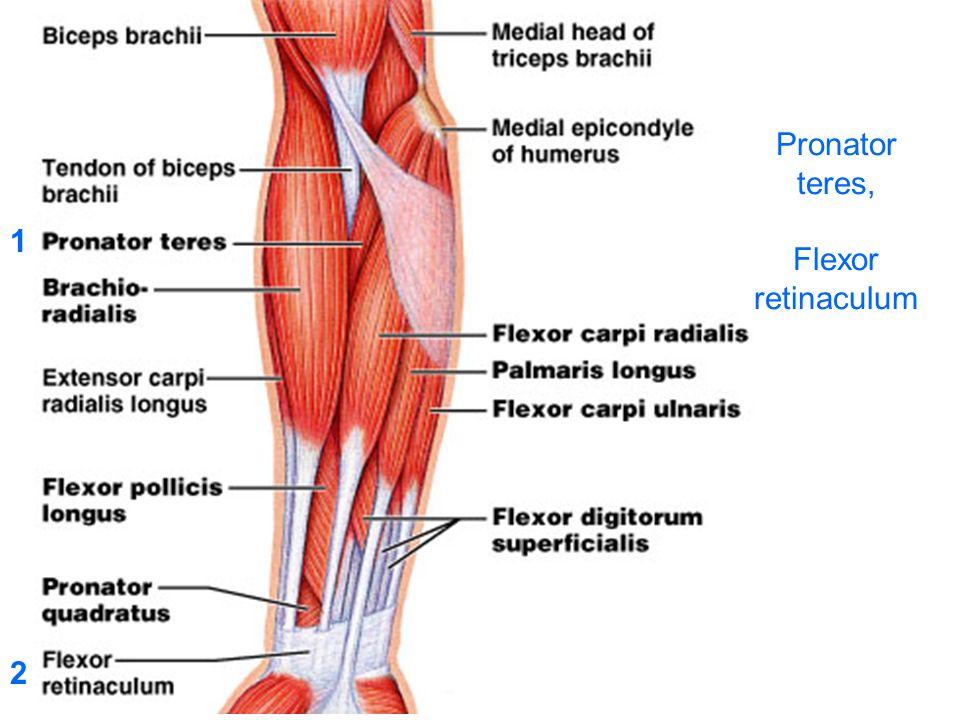 Pronator teres, Flexor retinaculum