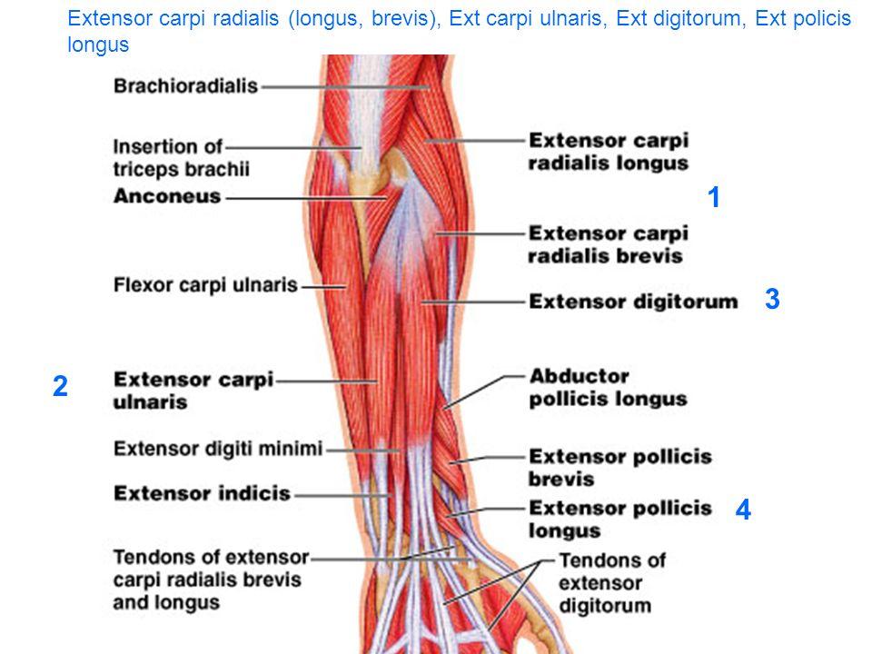 Extensor carpi radialis (longus, brevis), Ext carpi ulnaris, Ext digitorum, Ext policis longus
