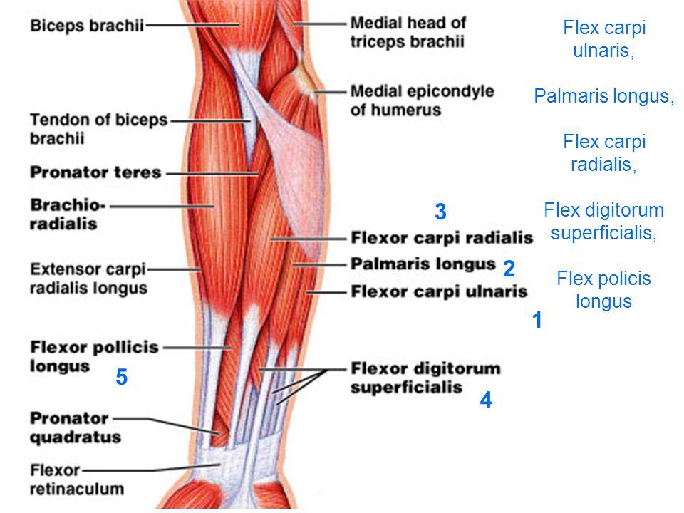Flex carpi ulnaris, Palmaris longus, Flex carpi radialis, Flex digitorum superficialis, Flex policis longus