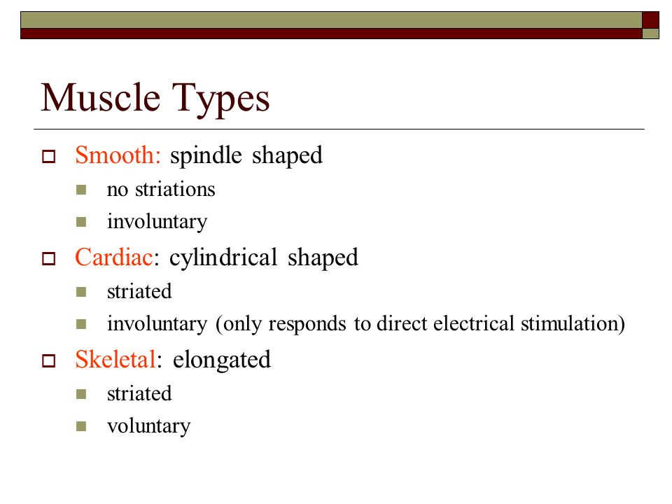 Muscle Types Smooth: spindle shaped Cardiac: cylindrical shaped