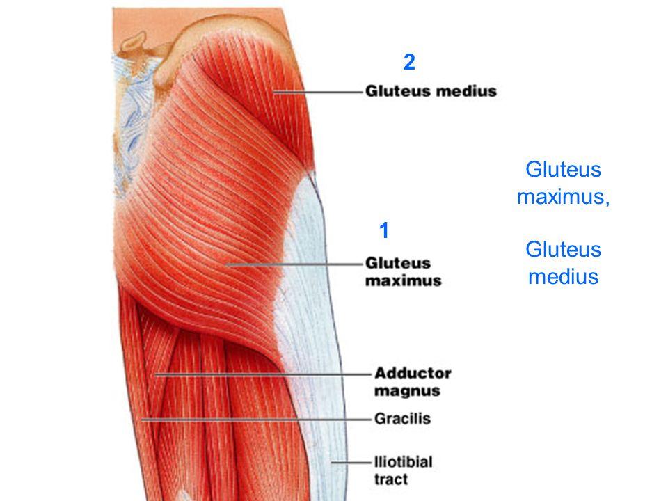 Gluteus maximus, Gluteus medius