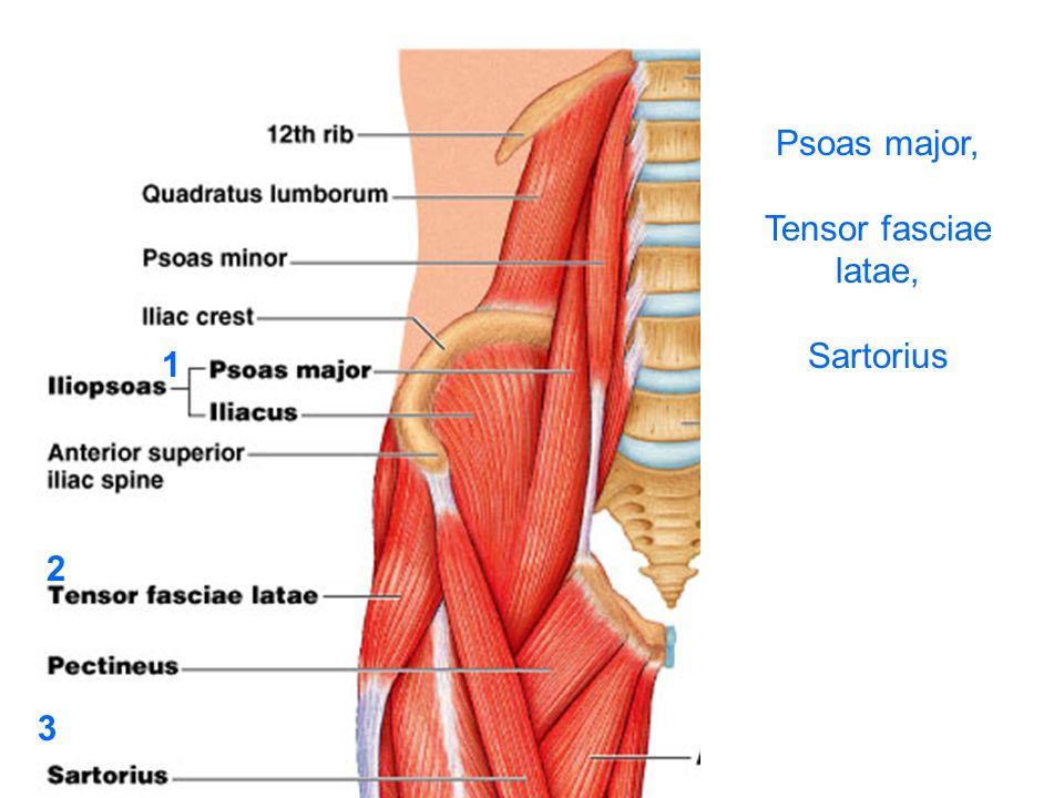 Psoas major, Tensor fasciae latae, Sartorius