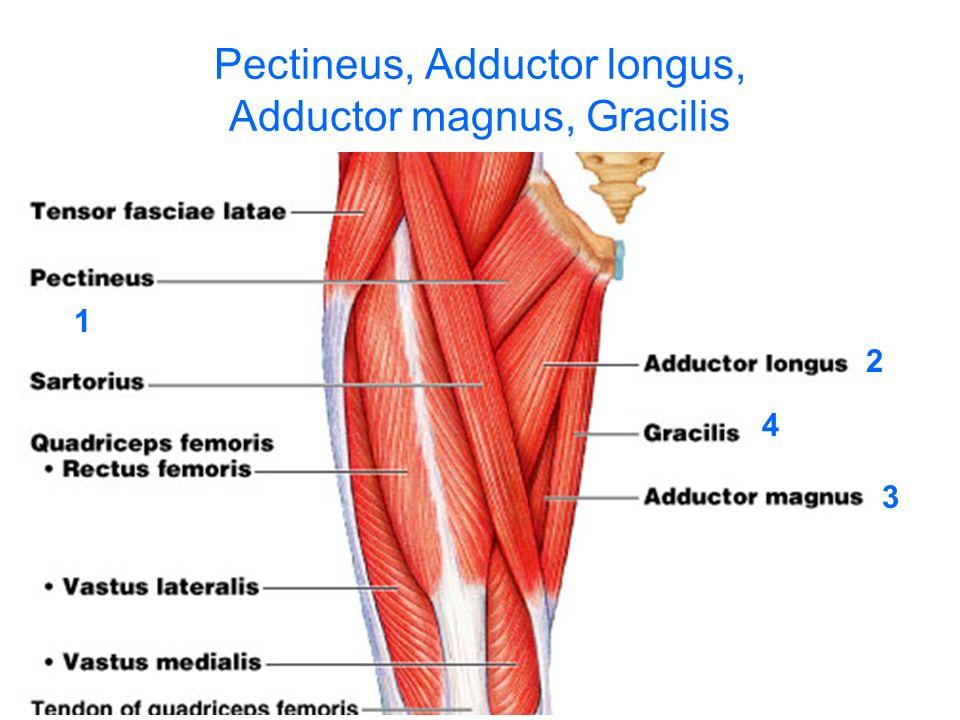 Pectineus, Adductor longus, Adductor magnus, Gracilis
