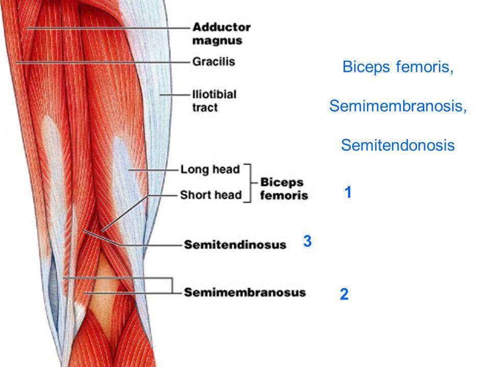 Biceps femoris, Semimembranosis, Semitendonosis
