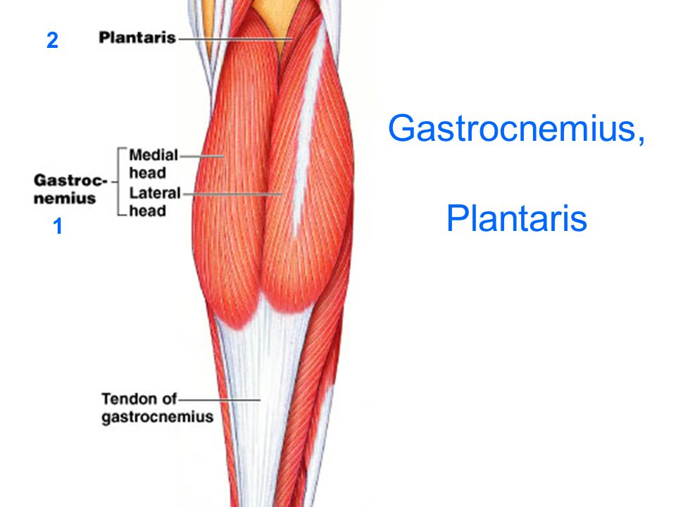 Gastrocnemius, Plantaris