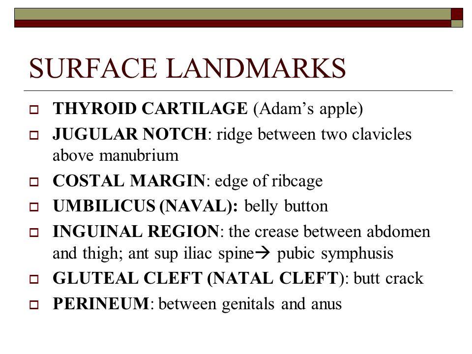 SURFACE LANDMARKS THYROID CARTILAGE (Adam's apple)