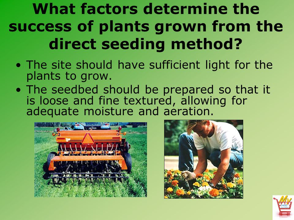 What factors determine the success of plants grown from the direct seeding method