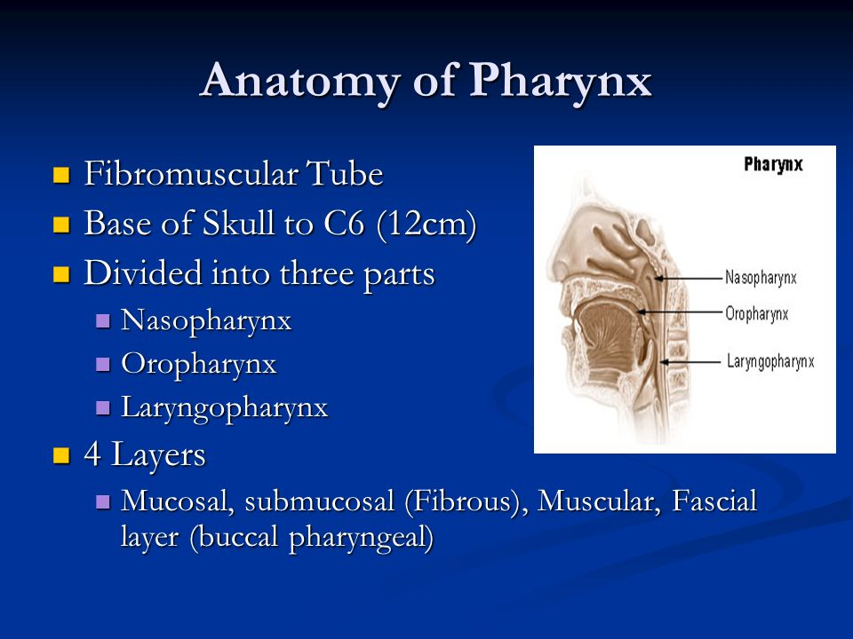 Anatomy of Pharynx Fibromuscular Tube Base of Skull to C6 (12cm)