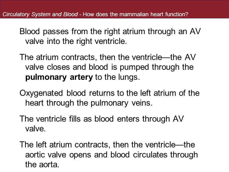 The ventricle fills as blood enters through AV valve.