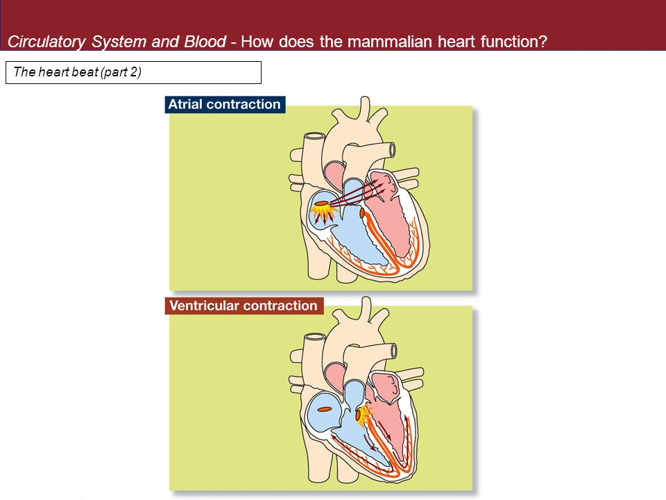 Circulatory System and Blood - How does the mammalian heart function