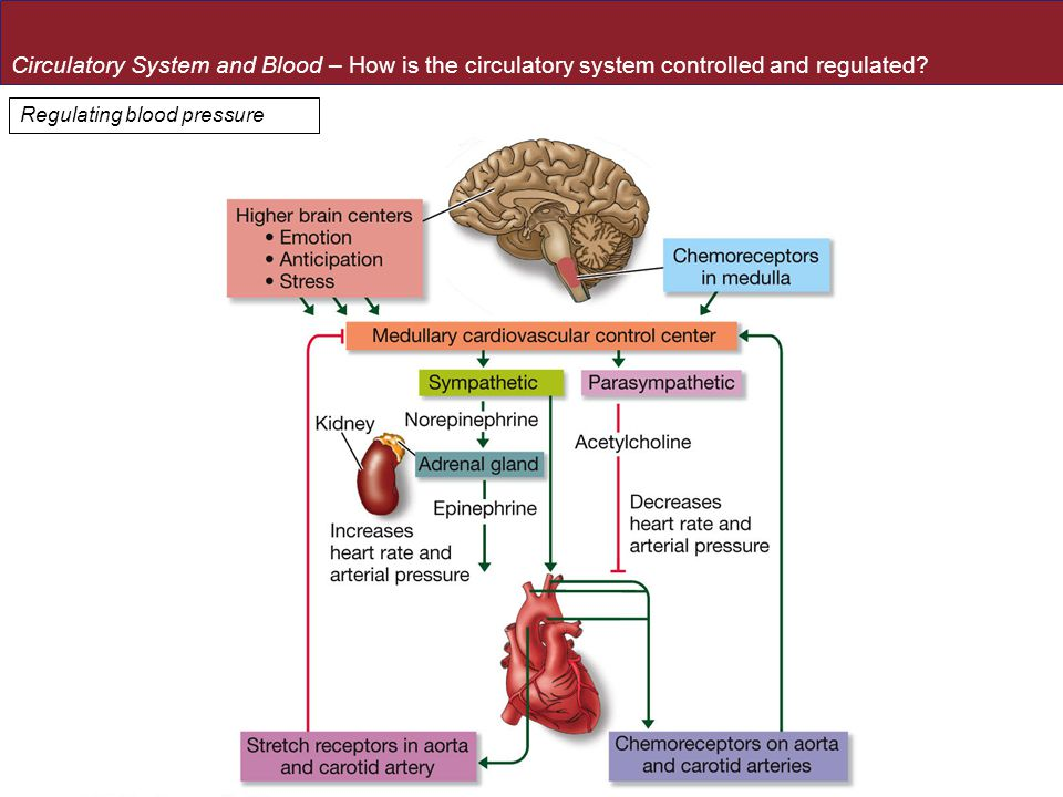 Circulatory System and Blood – How is the circulatory system controlled and regulated