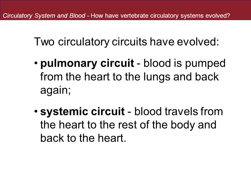 Two circulatory circuits have evolved: