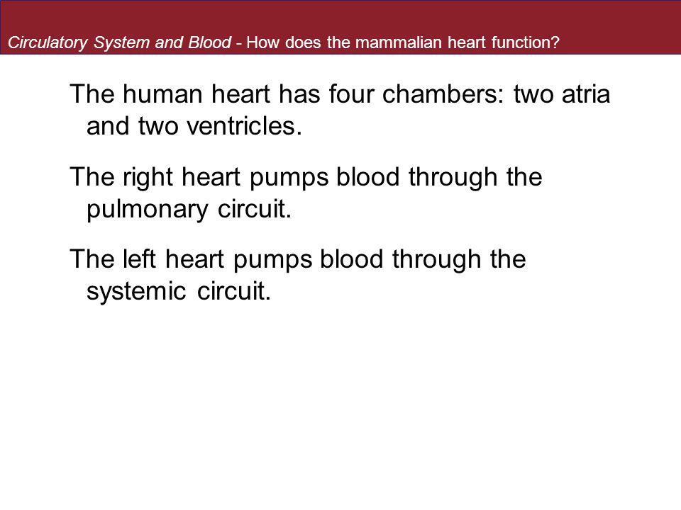 The human heart has four chambers: two atria and two ventricles.