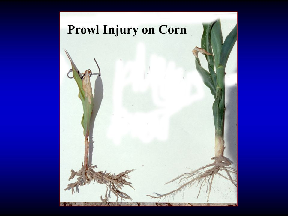 Prowl Injury on Corn