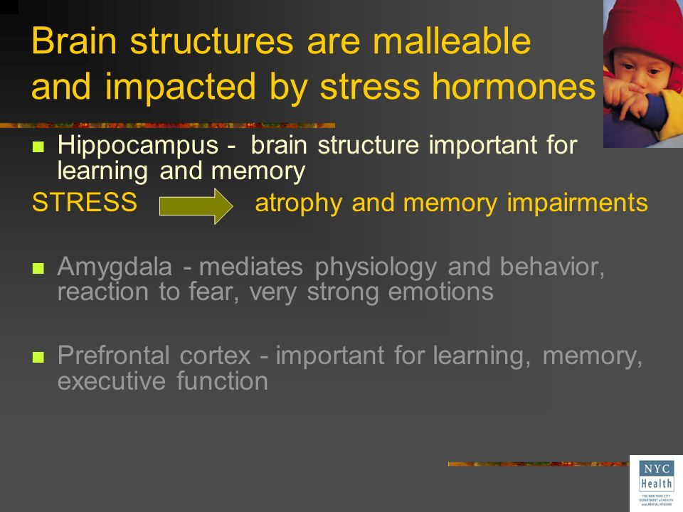 Brain structures are malleable and impacted by stress hormones