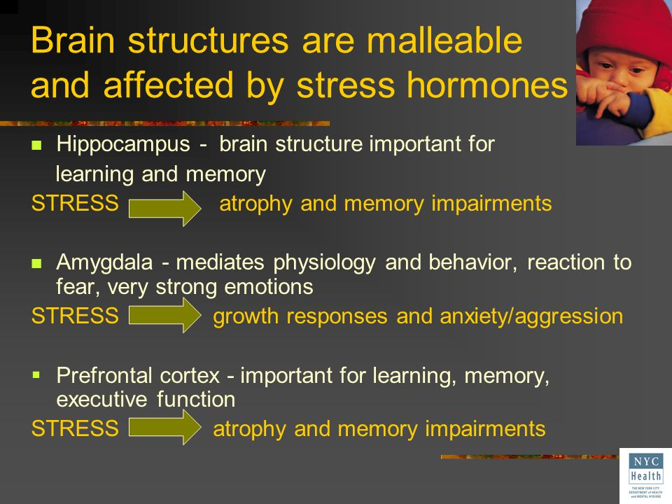 Brain structures are malleable and affected by stress hormones