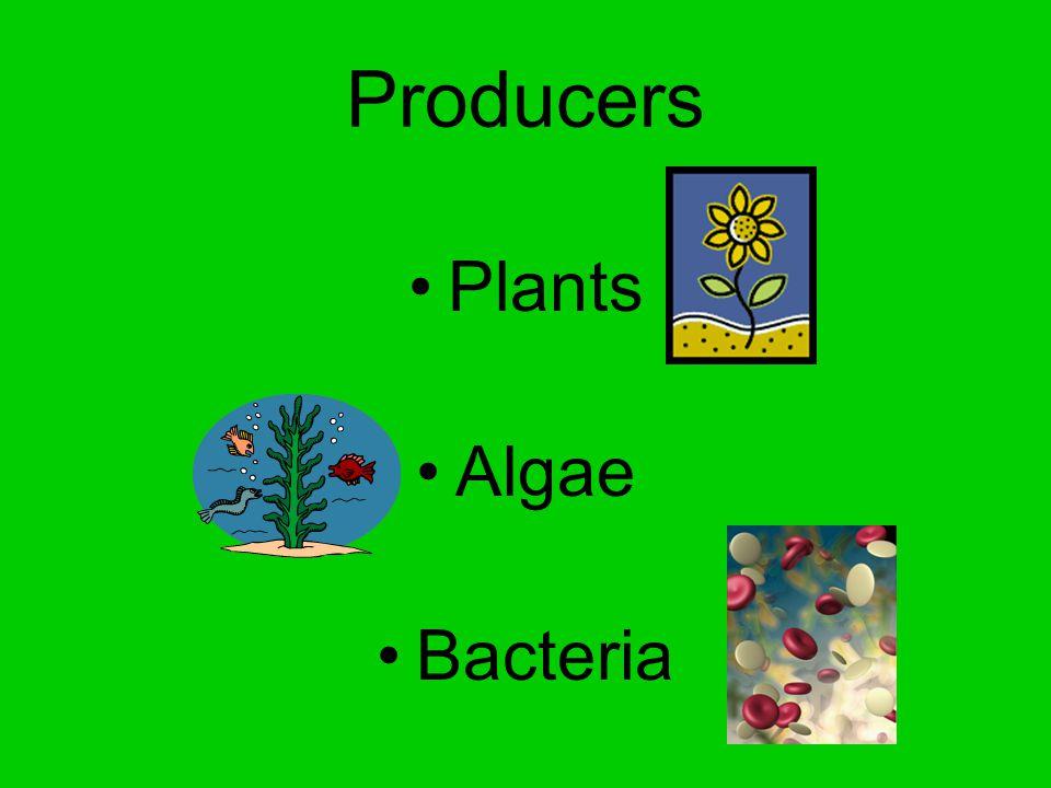 Producers Plants Algae Bacteria