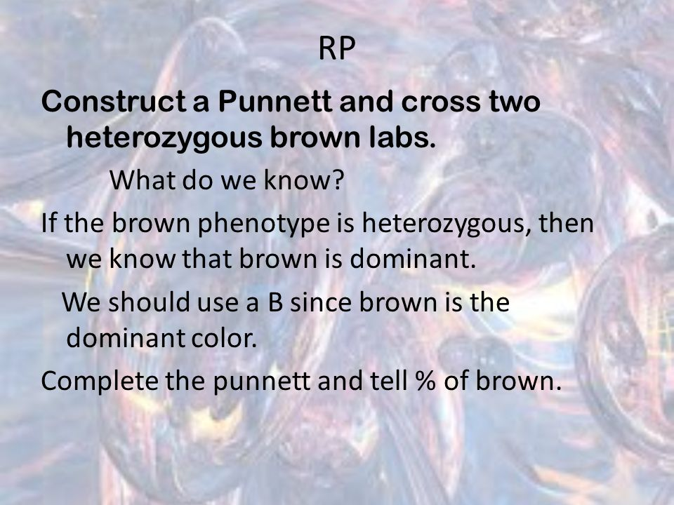 RP Construct a Punnett and cross two heterozygous brown labs.