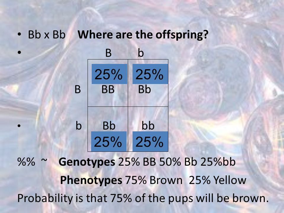 25% 25% 25% 25% Bb x Bb Where are the offspring B b B BB Bb