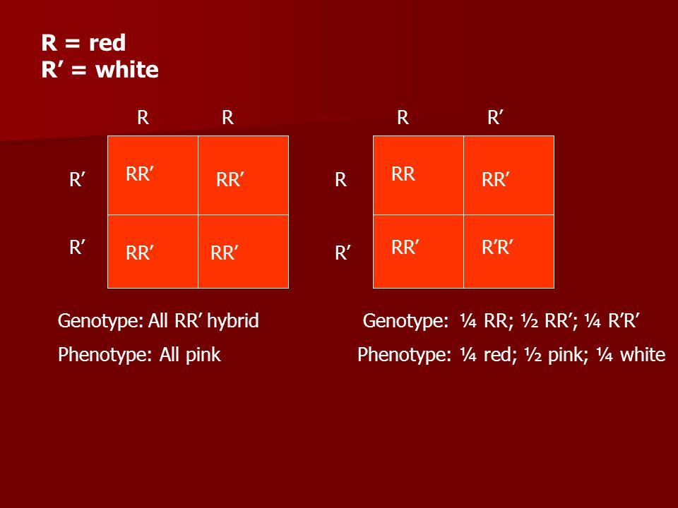 R = red R' = white R R R R' RR' RR R' RR' R RR' R' RR' R'R' RR' RR' R'