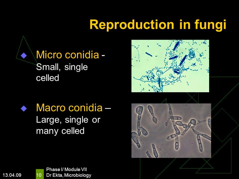 Reproduction in fungi Micro conidia - Small, single celled