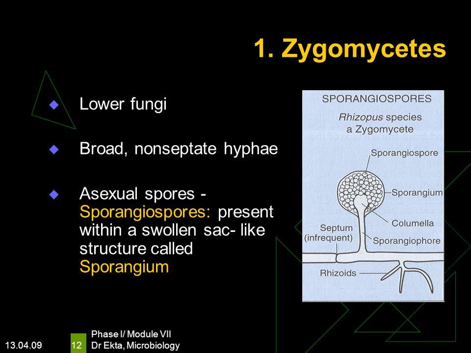 1. Zygomycetes Lower fungi Broad, nonseptate hyphae