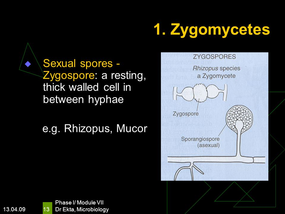 1. Zygomycetes Sexual spores - Zygospore: a resting, thick walled cell in between hyphae. e.g. Rhizopus, Mucor.