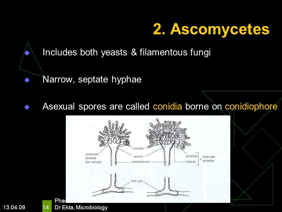 2. Ascomycetes Includes both yeasts & filamentous fungi