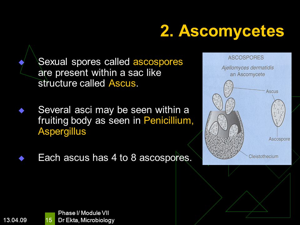 2. Ascomycetes Sexual spores called ascospores are present within a sac like structure called Ascus.