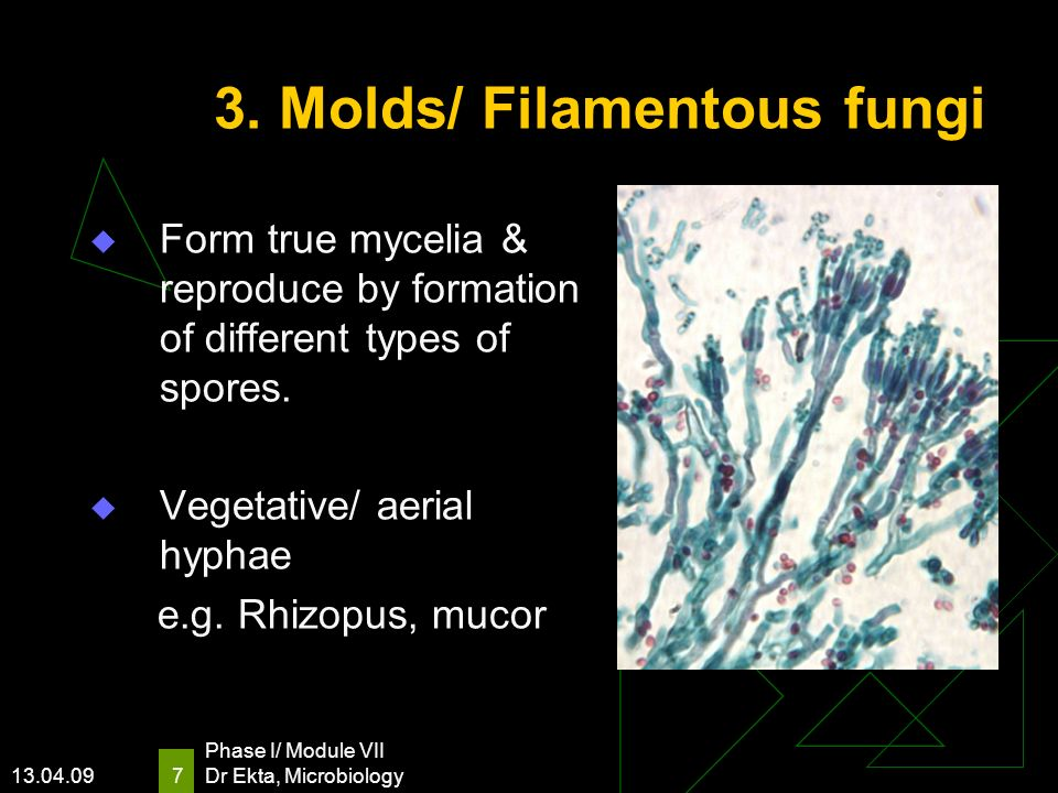 3. Molds/ Filamentous fungi
