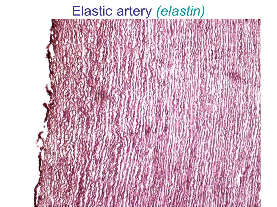 Elastic artery (elastin)