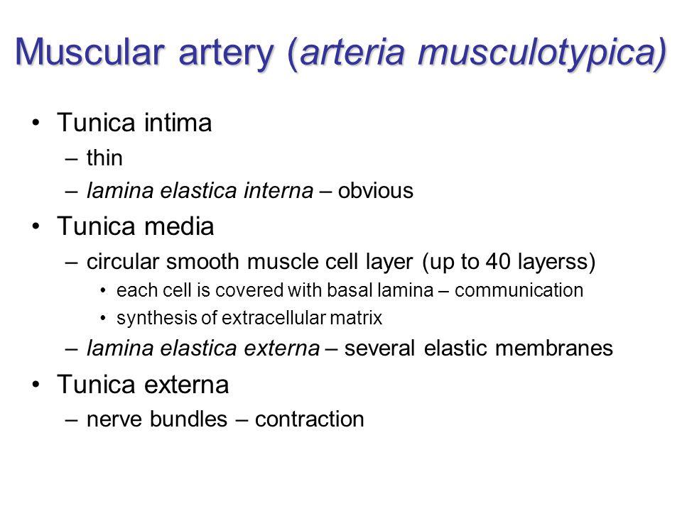 Muscular artery (arteria musculotypica)
