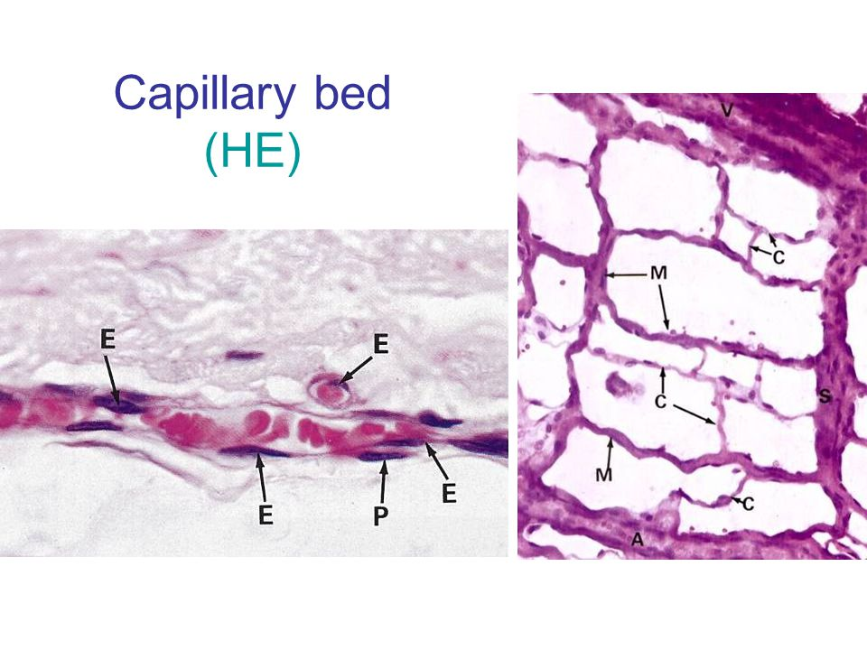 Capillary bed (HE)