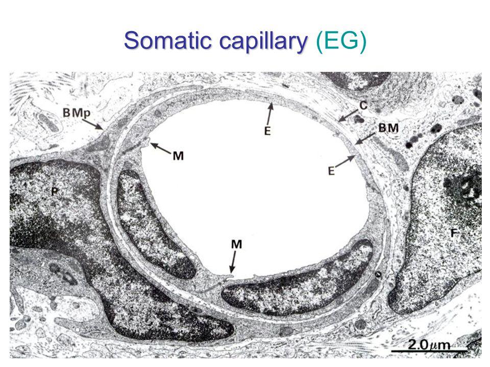 Somatic capillary (EG)