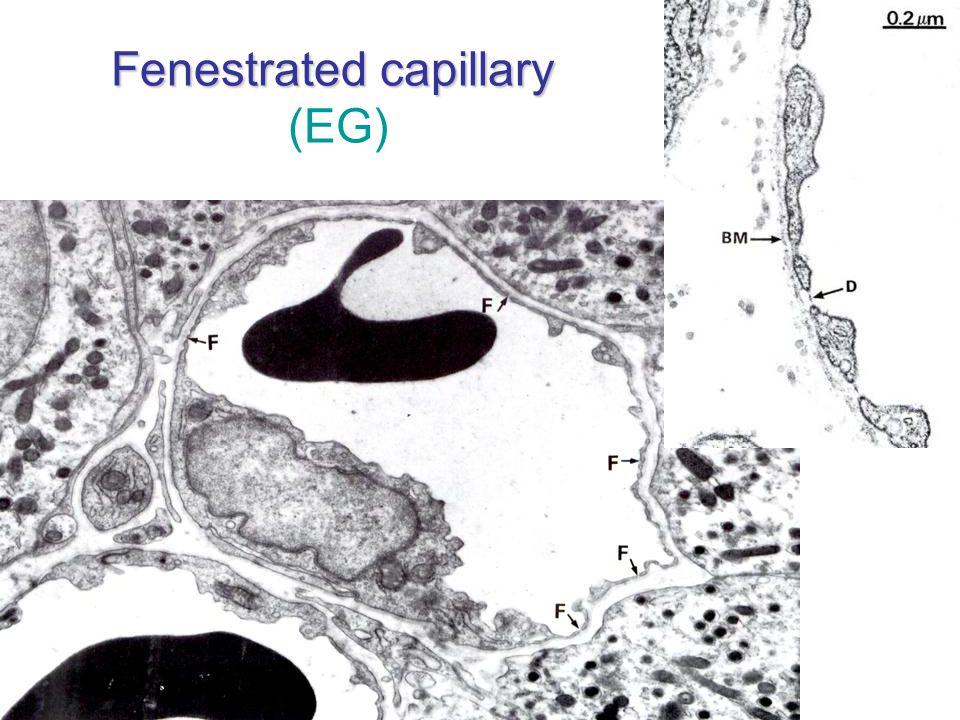 Fenestrated capillary (EG)