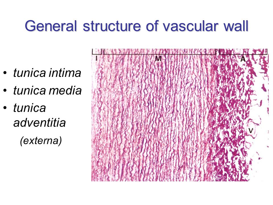 General structure of vascular wall