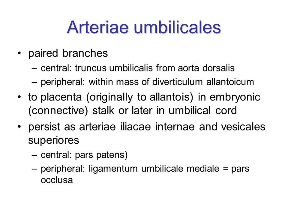Arteriae umbilicales paired branches