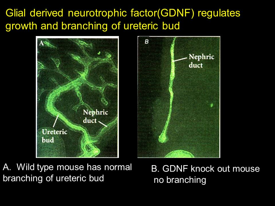 Glial derived neurotrophic factor(GDNF) regulates
