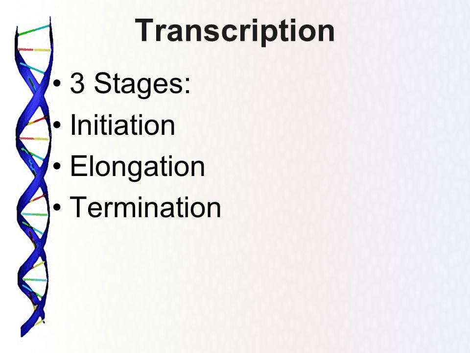Transcription 3 Stages: Initiation Elongation Termination
