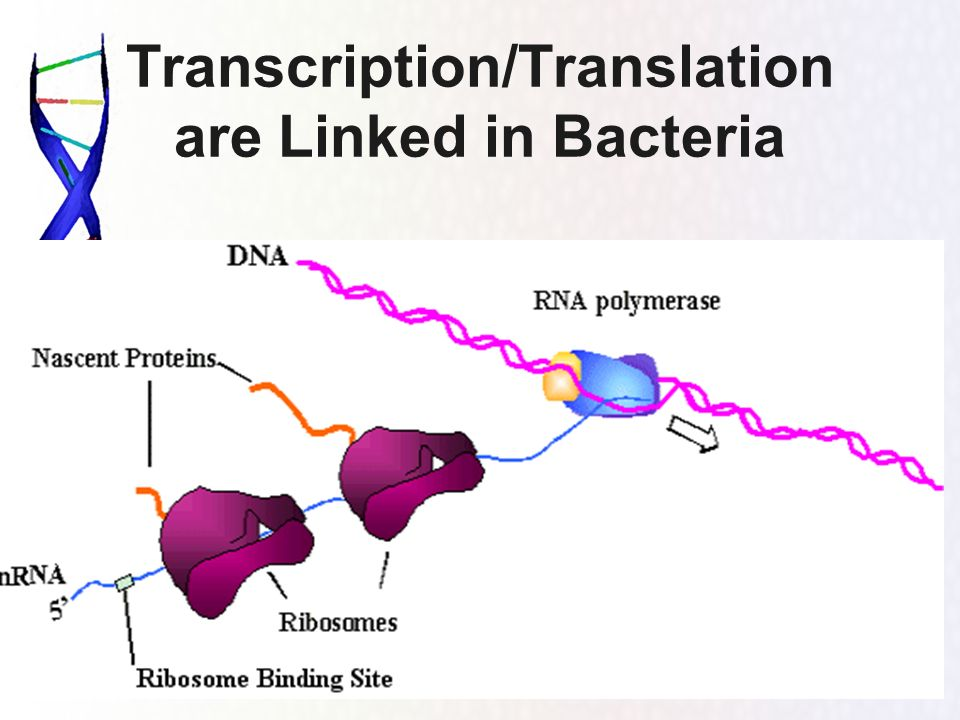 Transcription/Translation are Linked in Bacteria
