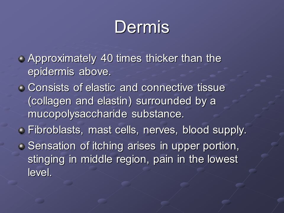 Dermis Approximately 40 times thicker than the epidermis above.