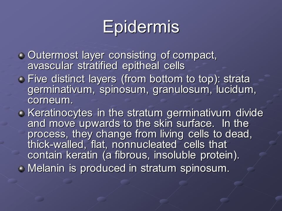 Epidermis Outermost layer consisting of compact, avascular stratified epitheal cells.